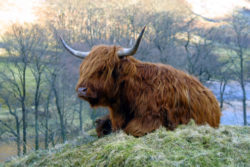Highland Cow Fort William